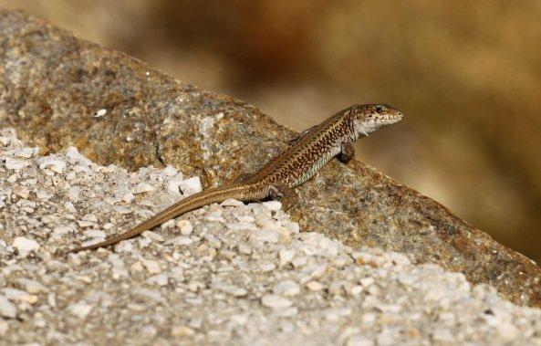 Erhard's wall lizard (Podarcis erhardii) (C) Matt Wilson