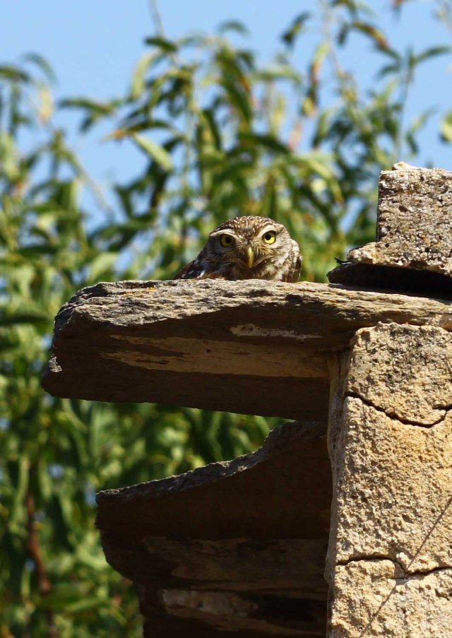 Little owl (Athene noctua) seen at his usual spot each morning (C) Matt Wilson