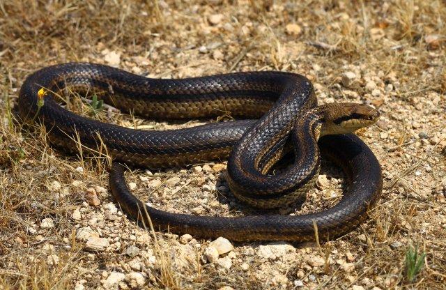 Big Four-lined snake (Elaphe quatuorlineata muenteri) was the first snake of the trip (C) Matt Wilson