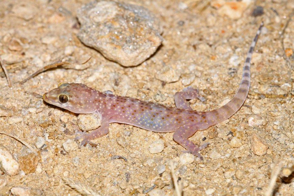 Turkish gecko (Hemidactylus turcicus) (C) Matt Wilson