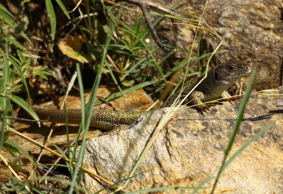 Balkan green lizard (Lacerta trilineata citrovittata) (C) Matt Wilson
