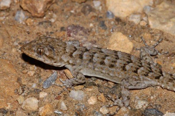 Kotschys gecko (Mediodactylus kotschyi) (C) Matt Wilson