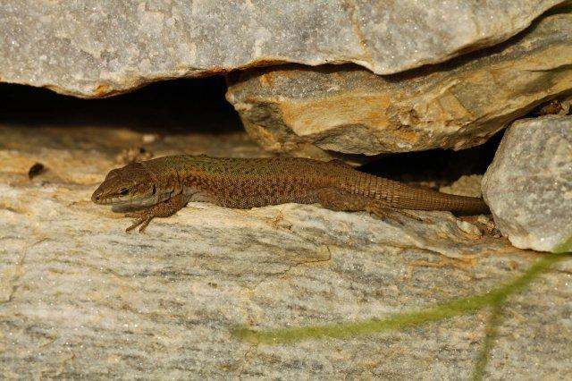 Erhards wall lizard (Podarcis erhardi) (C) Matt Wilson