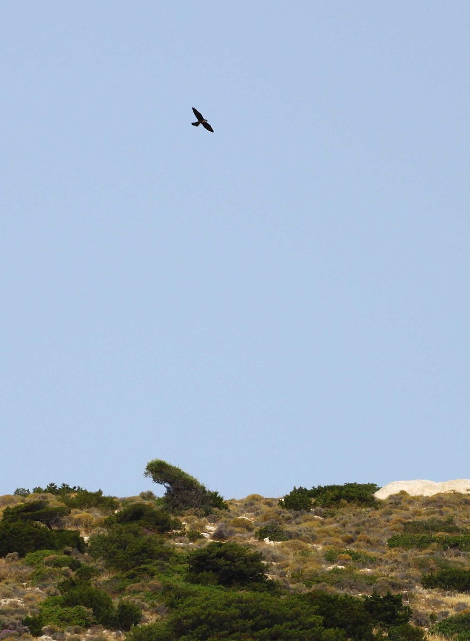 Hillside with passing Eleanora's falcon (C) Matt Wilson