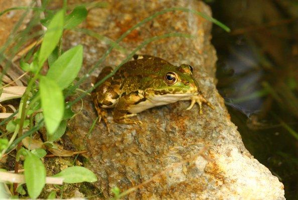 Water frog (Pelophylax sp) (C) Matt Wilson
