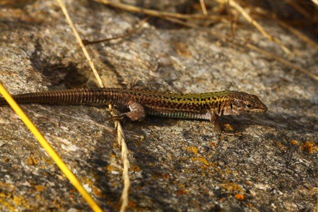 Erhard's wall lizard (Podarcis erhardi) (C) Matt Wilson
