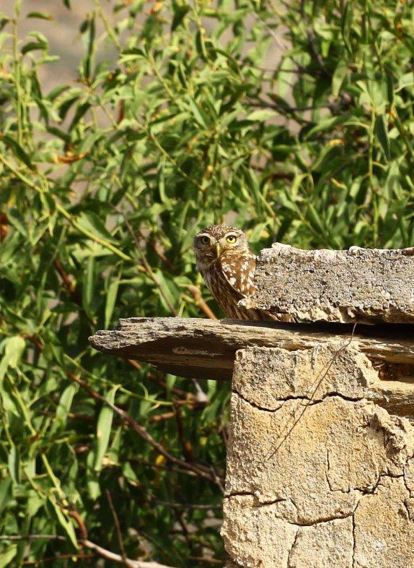 Mr Little owl again (C) Matt Wilson