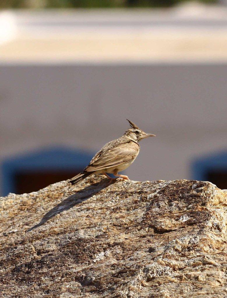 Crested lark (Galerida cristata) (C) Matt Wilson