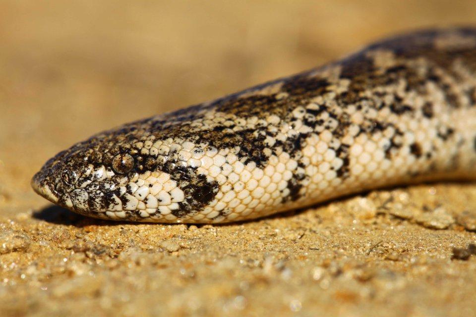 Sand boa (Eryx jaculus) (C) Matt Wilson