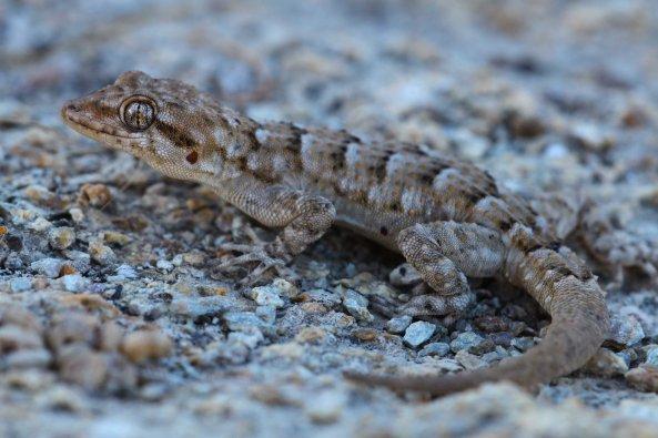 Kotschy's gecko (Mediodactylus kotschyi) (C) Matt Wilson