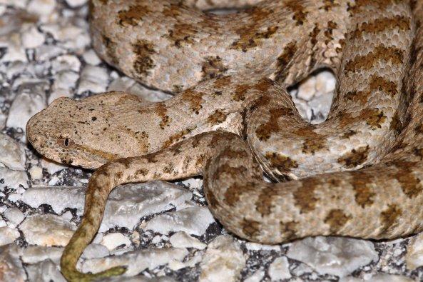 Found after an hour: Milos viper (Macrovipera schweizeri) (C) Matt Wilson