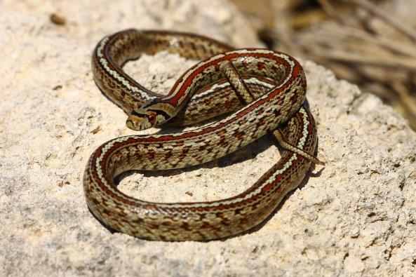 Leopard snake (Zamenis situla (C) Matt Wilson