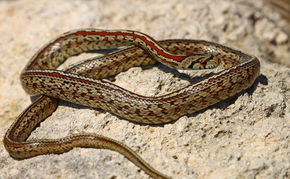 Leopard snake (Zamenis situla) (C) Matt Wilson