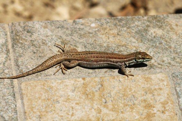 Female Milos wall lizard (Podarcis milensis) (C) Matt Wilson