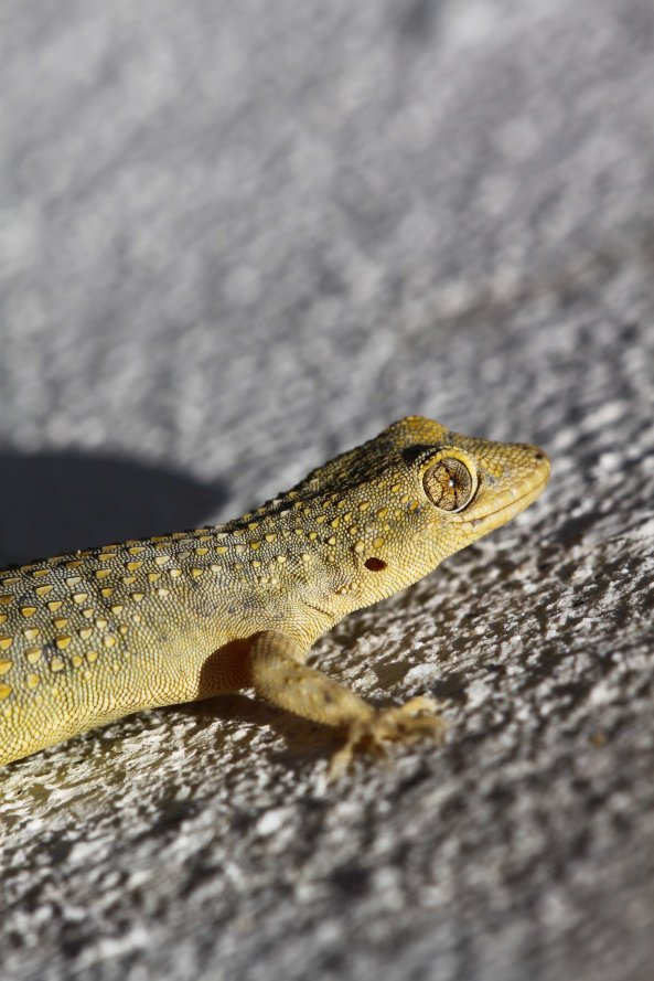 Gecko at our apartment (C) Matt Wilson