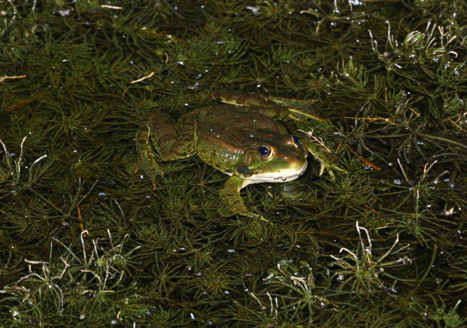 Milos frog (Pelophylax sp) (C) Matt Wilson