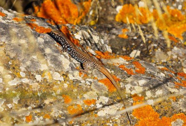 Male Milos wall lizard (Podarcis milensis) (C) Matt Wilson