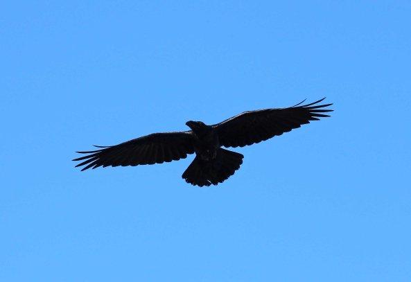Raven (C) Matt Wilson