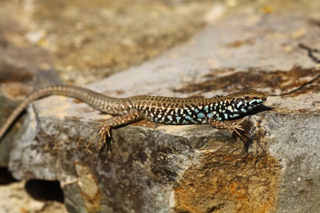 Milos wall lizard (Podarcis milensis) (C) Matt Wilson