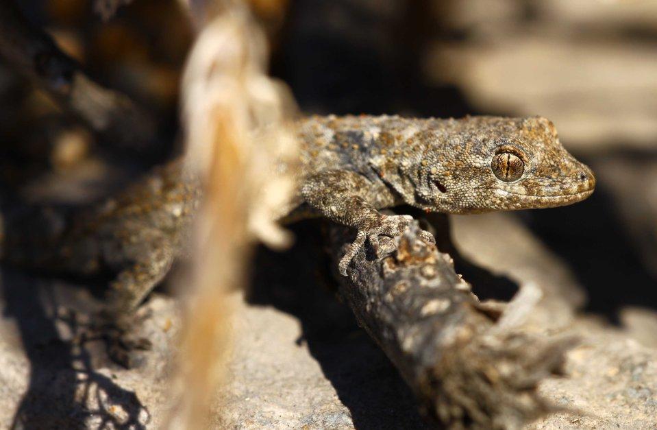 Diurnal gecko (C) Matt Wilson