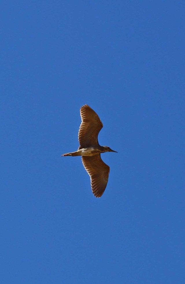 Night heron (C) Matt Wilson