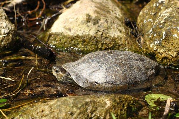 Balkan terrapin (Mauremys rivulata) (C) Matt Wilson