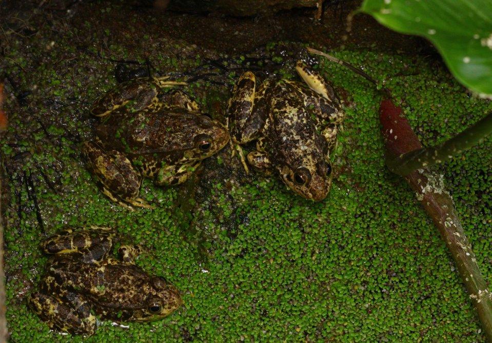Milos Water frog (Pelophylax sp) (C) Matt Wilson