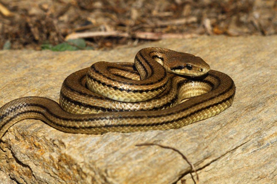 Four-lined snake (Elaphe quatuorlineata muenteri) (C) Matt Wilson