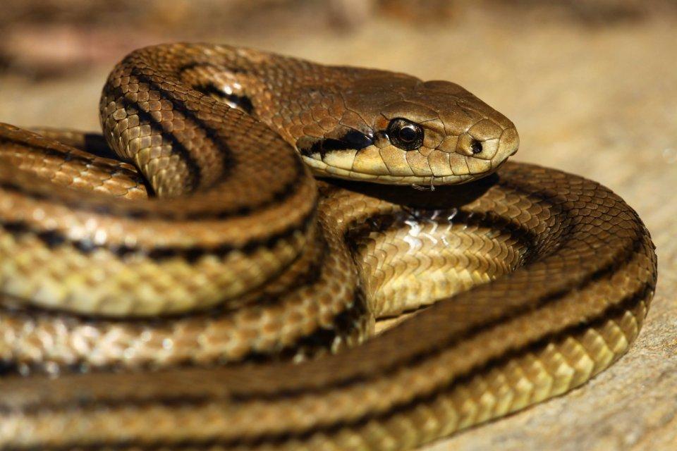 Four-lined snake (Elaphe quatuorlineata muenteri (C) Matt Wilson