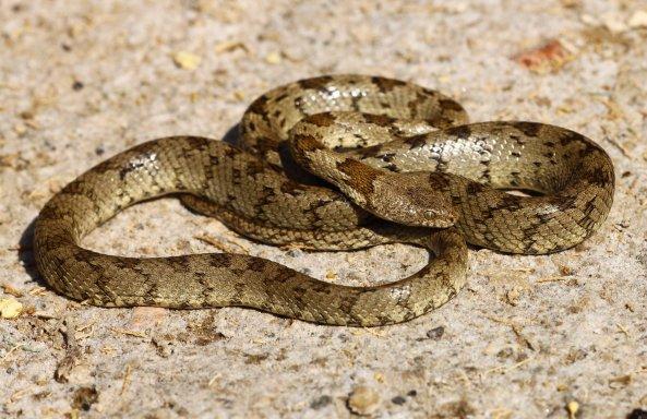 Cretan cat snake (Telescopus fallax pallidus) (C) Matt Wilson