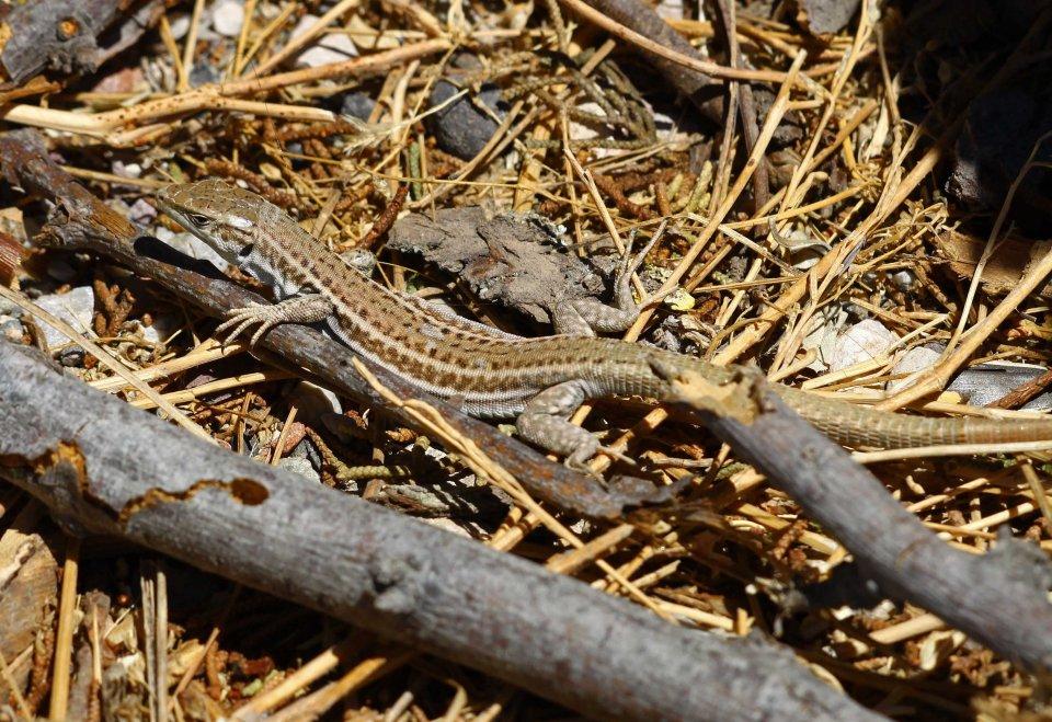 Erhards wall lizard (Podarcis erhardi myconensis) (C) Matt Wilson