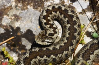 Greek meadow viper (Vipera graeca)