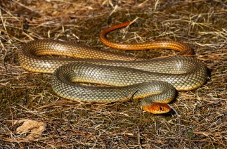 Large whip snake (Dolichophis caspius)