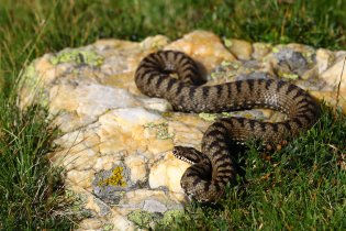 Bosnian adder (Vipera berus bosniensis), northern Greece