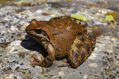 Greek stream frog (Rana graeca)
