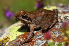 Greek stream frog (Rana graeca)