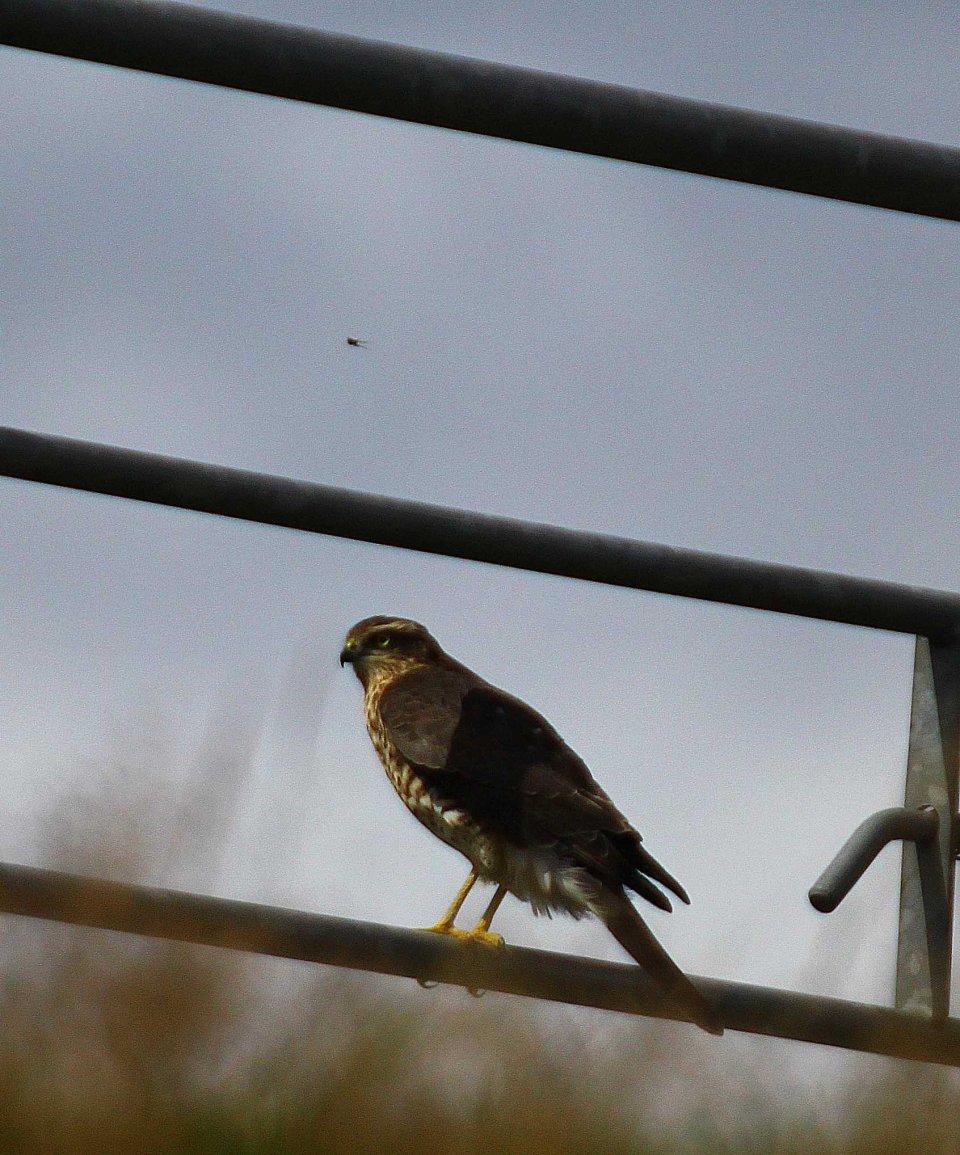Sparrowhawk (Accipiter nisus) (C) Matt Wilson