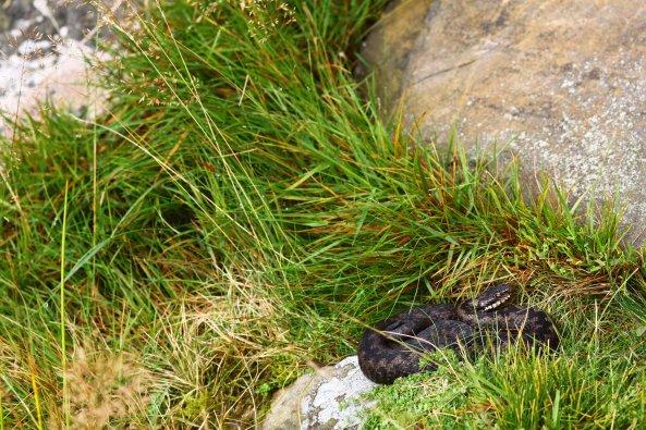 Male adder coming into slough (C) Matt Wilson