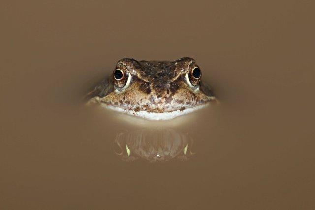 Common frog (Rana temporaria) (C) Matt Wilson