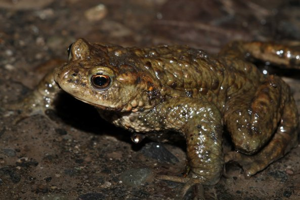 Common toad (Bufo bufo) (C) Matt Wilson