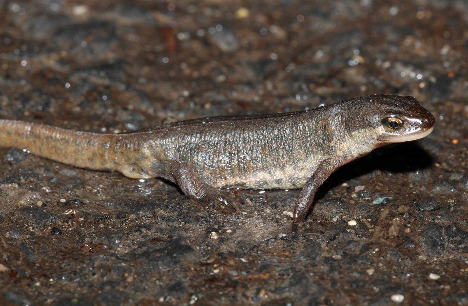 Palmate newt female (Lissotriton helveticus) (C) Matt Wilson