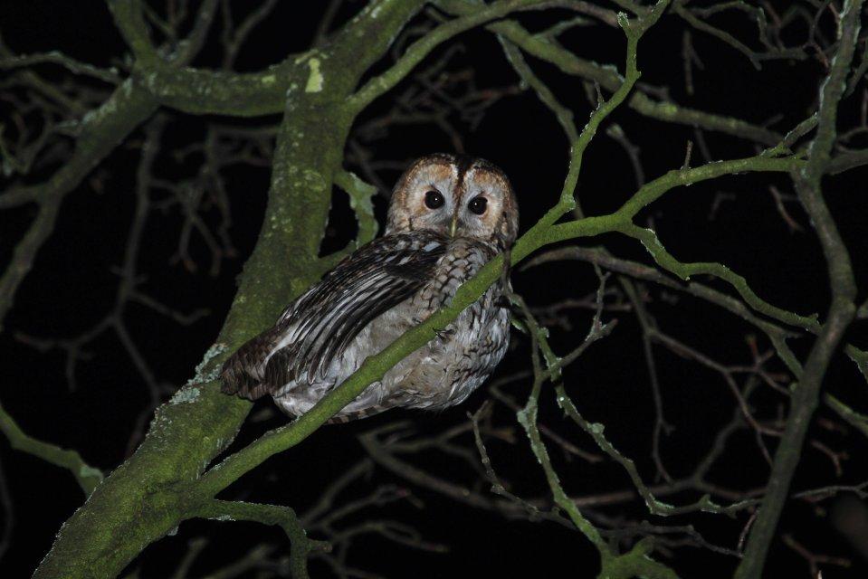 Male tawny owl (Strix aluco) (C) Matt Wilson