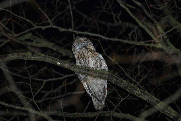 Male tawny owl (Strix aluco) calling (C) Matt Wilson