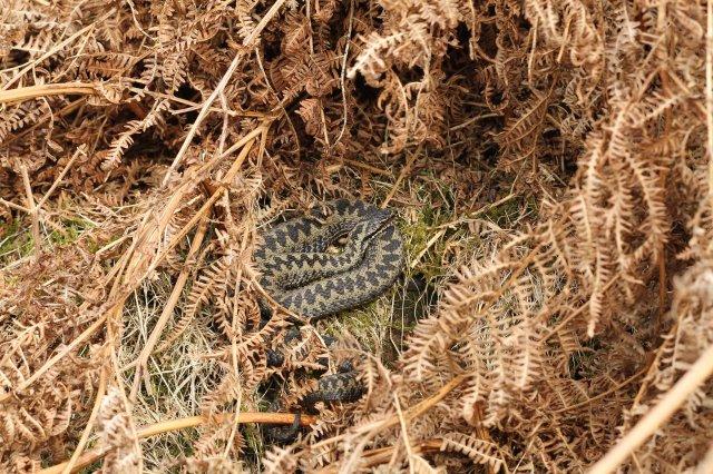 Male adder (Vipera berus) (C) Matt Wilson