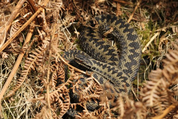 Male adder (Vipera berus) (C) Matt Wilson