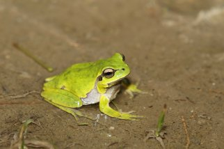 Common tree frog (Hyla arborea), Kos