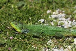 Balkan green lizard (Lacerta trilineata), Kos