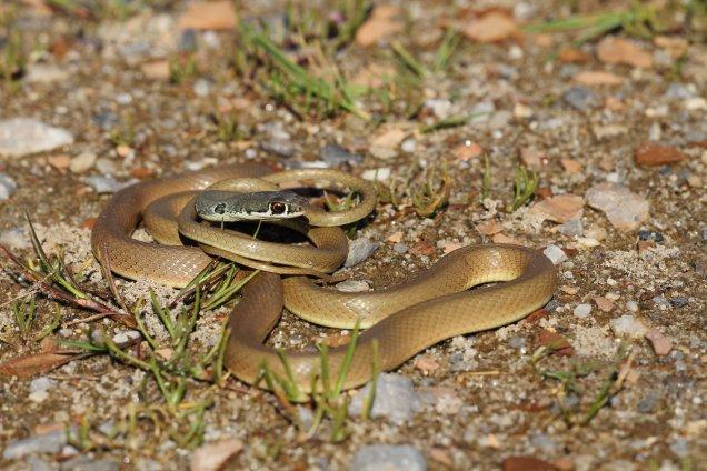 Dahl's whip snake (Platyceps najadum), Kos