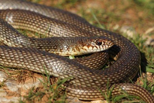 Large whip snake (Dolichophis caspius), Kalymnos