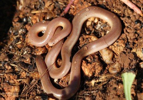 Worm snake (Typhlops vermicularis), Kalymnos